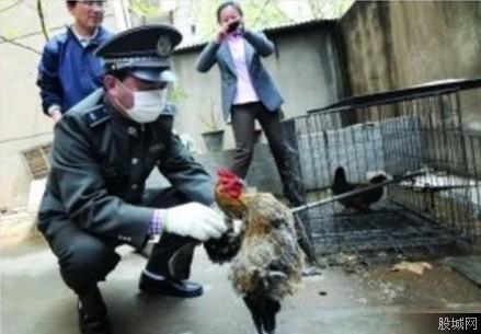 南京全城杀鸡 禽流感的根源是鸡闹出来的吗?