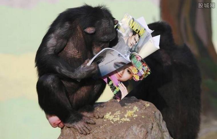 黑猩猩读书 装模作样读书的样子惹人爱