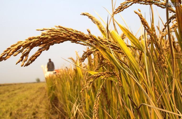 新疆海水稻引热议