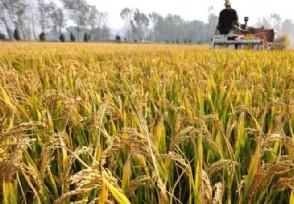 杂交水稻创纪录 有望解决非洲贫困国家粮食安全问题