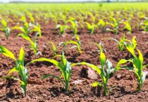 美国玉米多少钱一斤 2020年春节后价格会涨吗