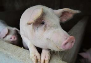 猪流感在中国哪里爆发 已经有疫苗是真的吗?