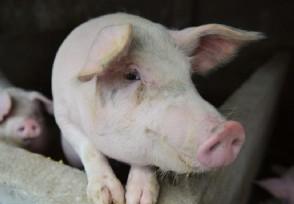 下半年猪价会涨到100元一公斤吗具体分析来了