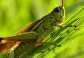 蝗虫会不会飞到中国?已飞到云南粮食被破坏损失大