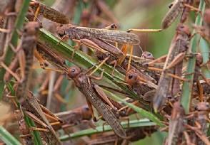 印度蝗虫会不会飞到中国来看国内蝗虫最新消息