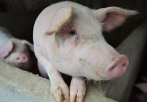 广东雷州发生一起猪口蹄疫疫情官方发布最新通报