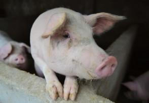 下半年猪价走势如何 专家给出了这样的判断