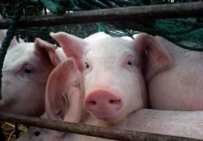 中国放弃进口美国猪肉吗来看农业部的最新数据