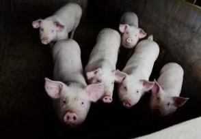 德国现非洲猪瘟病例 会影响到猪肉出口吗?
