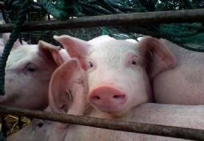 德国现非洲猪瘟病例 猪肉生产与出口或受影响