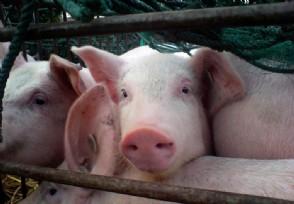 2020下半年猪价行情走势养猪还能赚钱吗