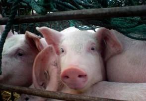 日本扑杀17万头猪猪瘟疫情对国内市场影响大吗