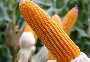玉米价格每吨涨千元 均价最高超过2600元