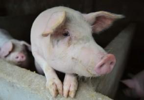 猪肉价格连续7周回落生猪生产恢复好于预期