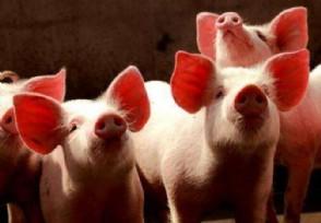 2021年猪价最新行情走势预测猪会过剩吗?
