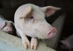 农行生猪产业链贷款余额达525亿元比年初有所增长