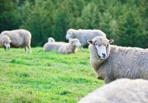 3万只羊进入无疫区这些羊价值多少钱人民币