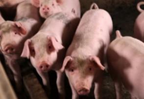 宁南现非洲猪瘟疫情违规调运生猪被查获
