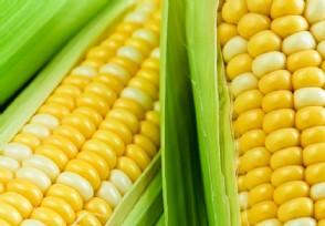 今年的玉米多少钱一斤明年价格走势如何