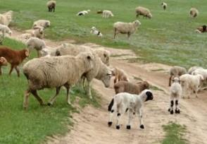 养羊一年能挣多少钱看完你就知道了!