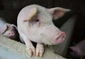生猪价会再上涨吗猪肉消费旺季到来了