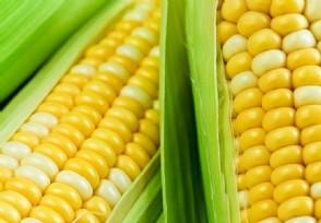 近期玉米的价格如何 最新价格行情公布