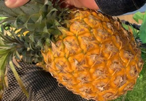 广东徐闻菠萝鲜果田头价创新高多措并举助果农增产