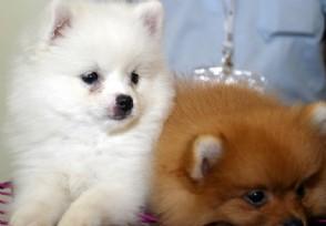 可爱又温顺的小型宠物犬