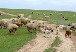 新手入行养羊需要注意什么