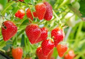 怎么做才能让草莓安全越夏