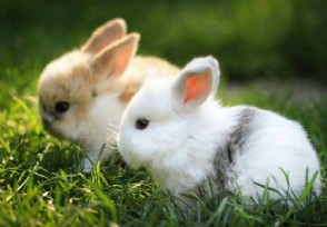 兔子怎么区分公母