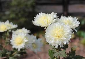 菊花如何培育