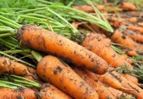 秋冬萝卜的栽培技术有哪些