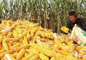 影响玉米生产的不利因素