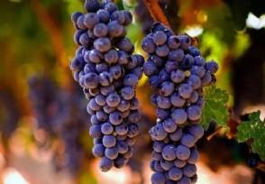 种植葡萄如何才能更好上色增甜