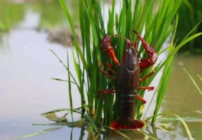 怎样养殖龙虾更赚钱