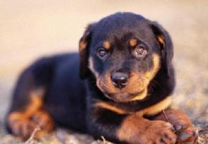 令人安全感十足的狗狗有哪些